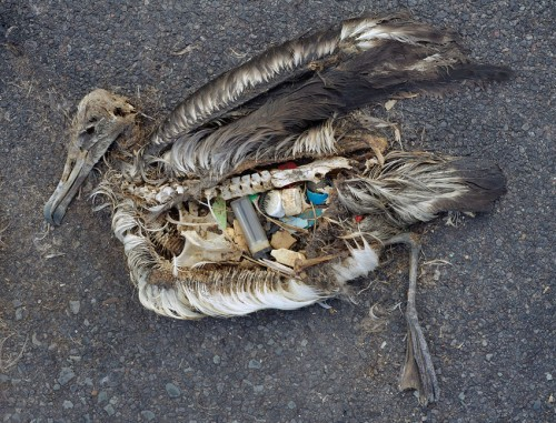Photo of dead bird with plastic in stomach